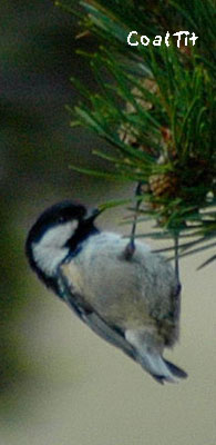 birding in spain coal tit photo gallery 1