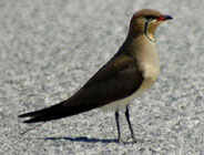 birding in spain gallery 1 collared pratincole photo
