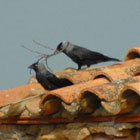 birding in spain jackdaw photo gallery 1
