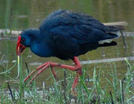 birding in spain purple swamphen photo gallery 1