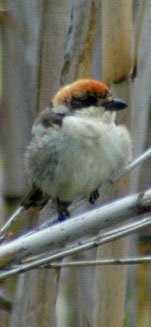 birding in spain woodchat shrike photo gallery 1