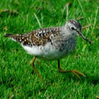 birding in spain wood sandpiper photo gallery 1