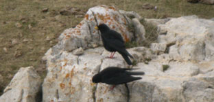 birding holidays spain alpine chough birdbox pyrenees photo