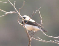 trip report spain birding black-eared wheatear photo