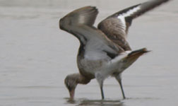 trip report aiguamolls de l'emporda black-tailed godwit photo