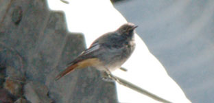 black redstart photo pyrenees september 2006