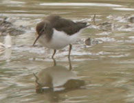 birding in spain common sandpiper photo 28 october 2006