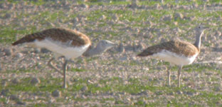 great bustard photo spain birding steppes october 2006