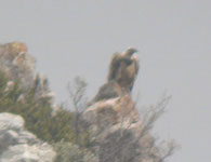 griffon vulture pyrenees spain birding vacation photo