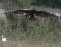 marsh harrier photo llobregat trip report 10 september 2006