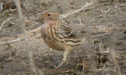 red-throated pipit vilaut spain birdwatching trips photo