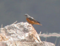 rock thrush pyrenees birdwatching holidays spain photo