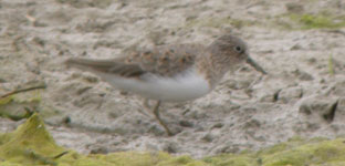temminck's stint llobregat delta bird watching holidays spain photo