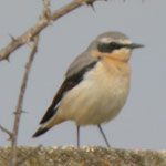 aiguamolls de l'emporda trip report northern wheatear photo