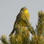 trip report spain pyrenees yellowhammer photo