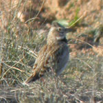 birding holidays spain trip report calandra lark photo