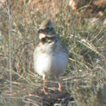 birding holidays spain trip report calandra lark photo 2
