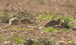birding holidays spain trip report pt sandgrouse photo